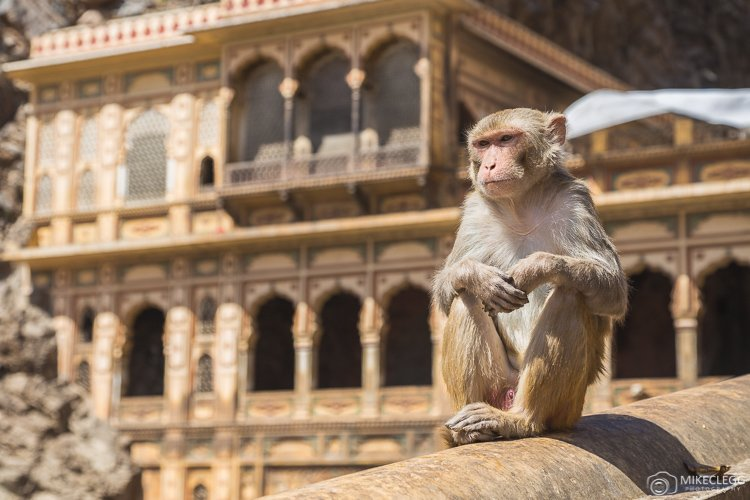Monkeys at Monkey Temple, Jaipur