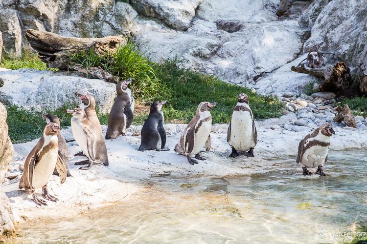 Penguins at Vienna Zoo - Tiergarten
