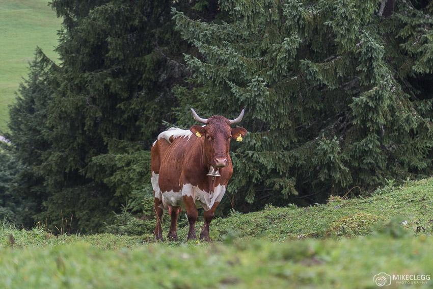 Local Cows in Saalachtal Austria