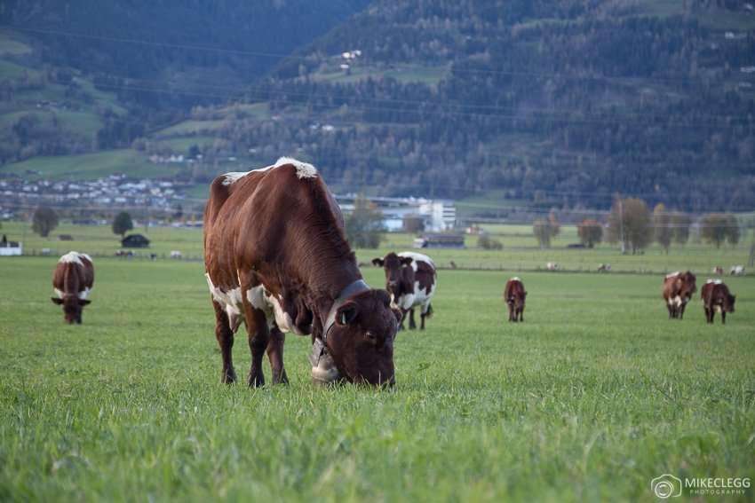 Cows crazing in a field in Austria