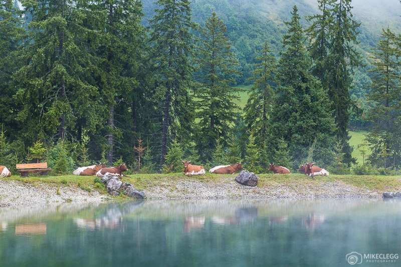 Cows in Saalachtal, Austria