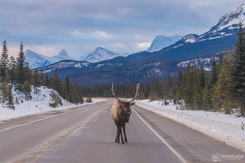 Elk Wildlife on roads in Alberta