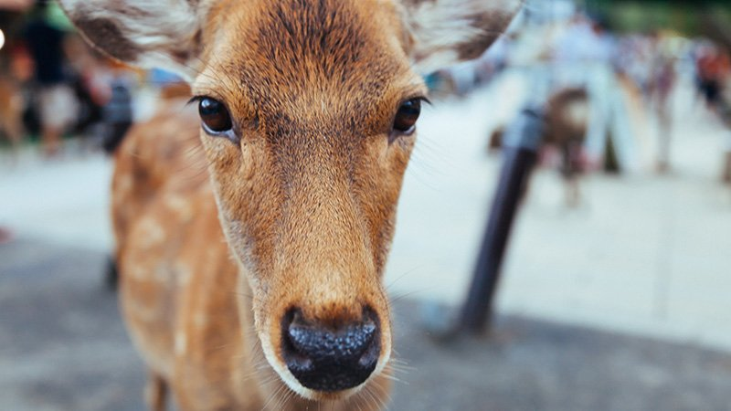 Deer in Nara - Image CC0 - Alexander Smagin (unsplash)