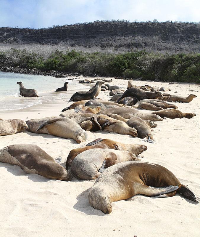 Ecuador Galapagos Santa Fe Island Beach Sea Lions Via G Adventures
