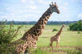 Giraffes in Nairobi National Park