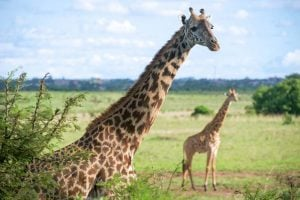 Giraffes in Nairobi National Park