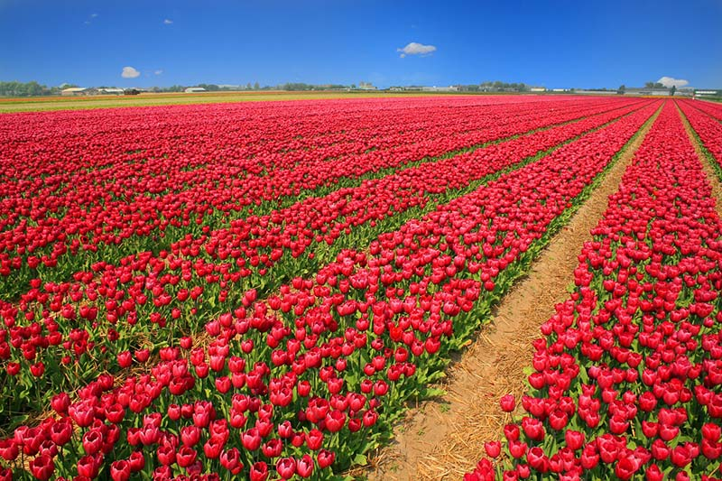 Tulip fields in Spring Netherlands