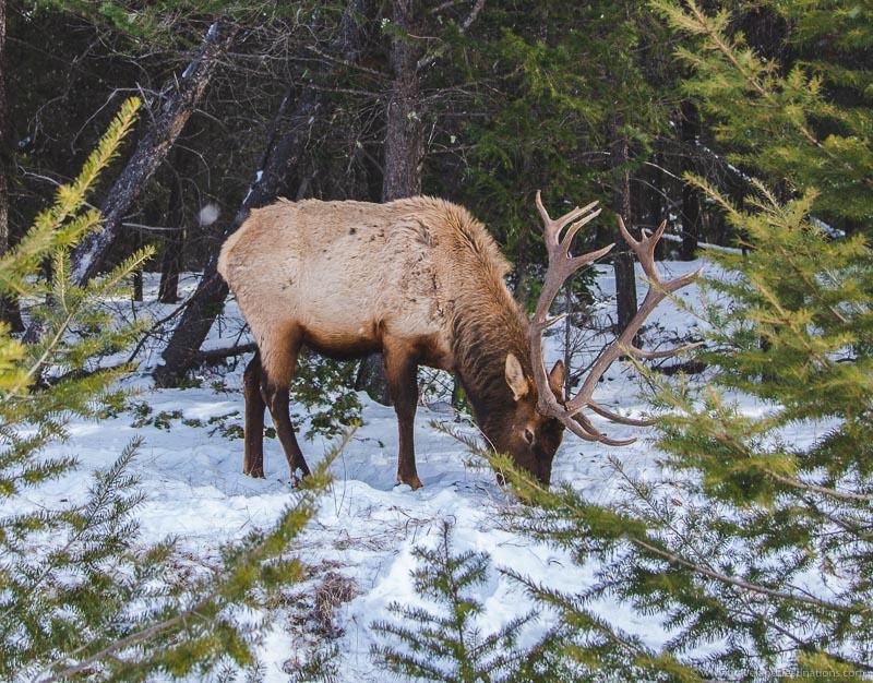 An Elk in Canada