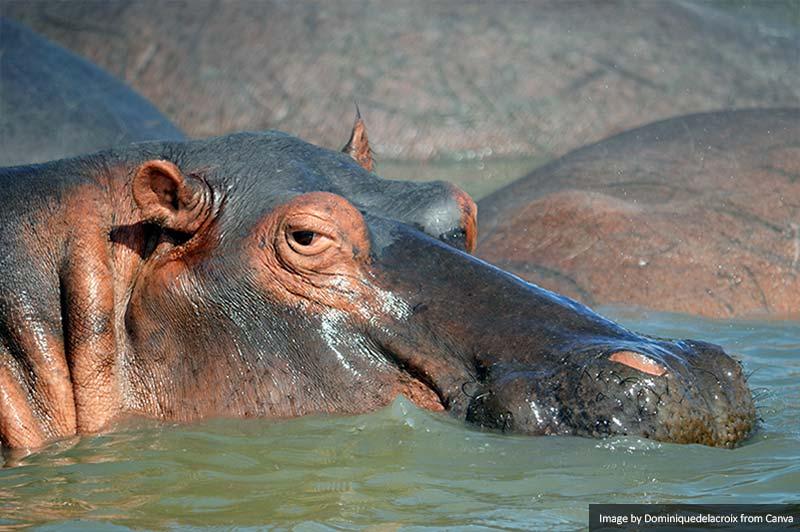 Hippo in St. Lucia Estuary