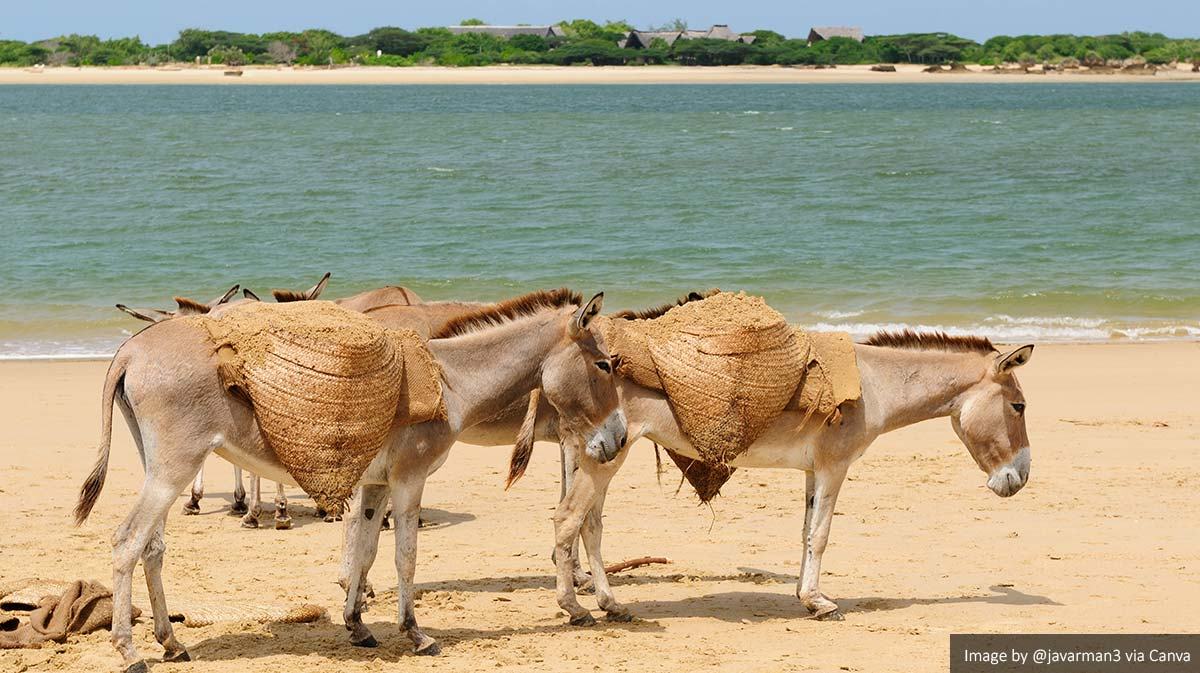 Donkeys in Lamu Island, Kenya