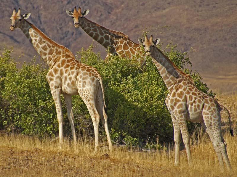 Giraffes at Etosha National Park