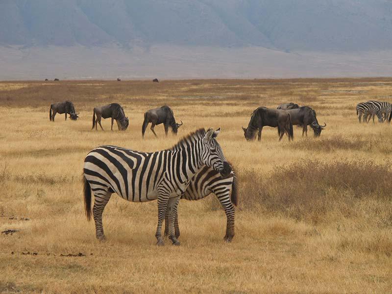 Zebras and wildlife at Ngorongoro