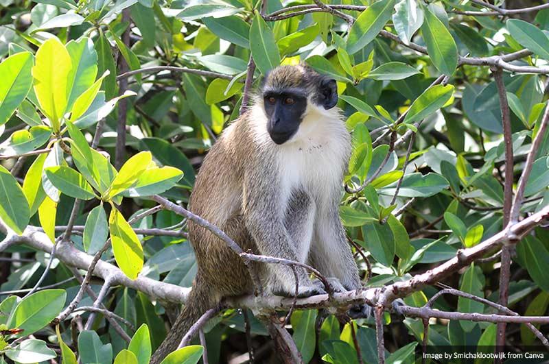 Зеленая верветка 10 лучших мест для посещения в Сенегале и Гамбии 10 лучших мест для посещения в Сенегале и Гамбии Green vervet monkey