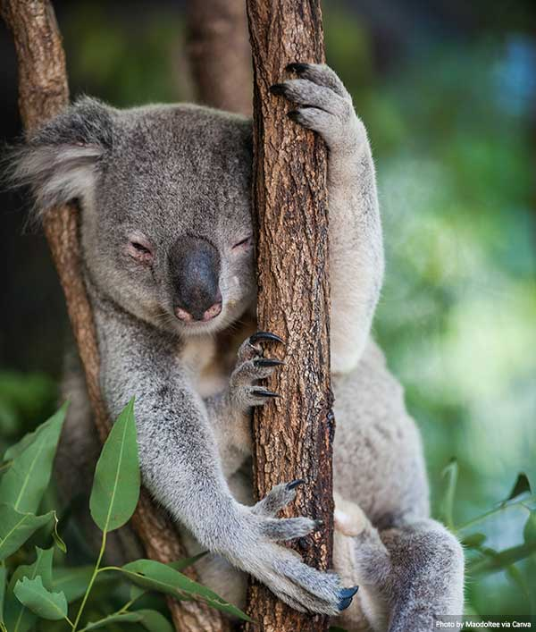 коала золотое побережье 10 лучших мест, которые стоит посмотреть и чем заняться на Золотом побережье Koala