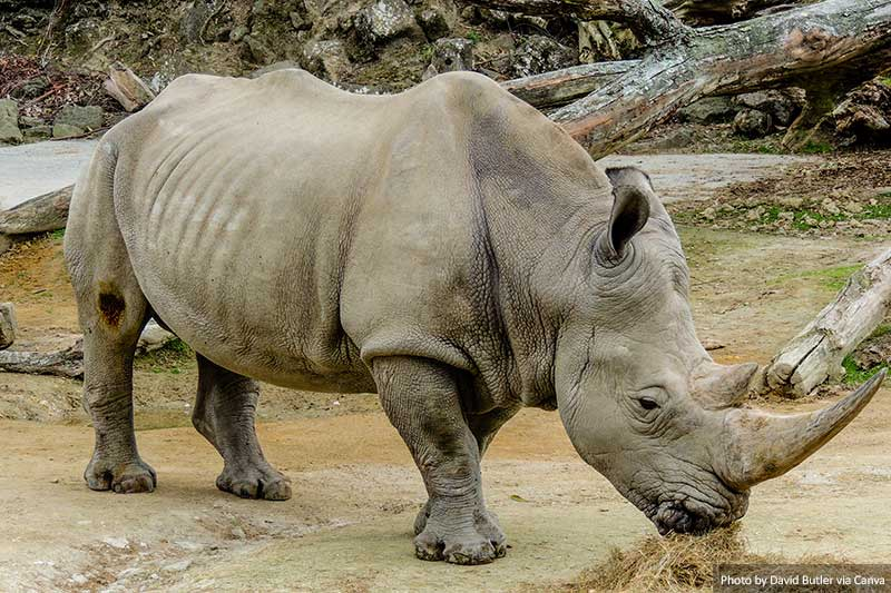Northern White Rhino with large horn, Auckland Zoo