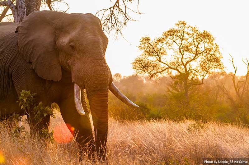An African bush elephant in Kruger National Park