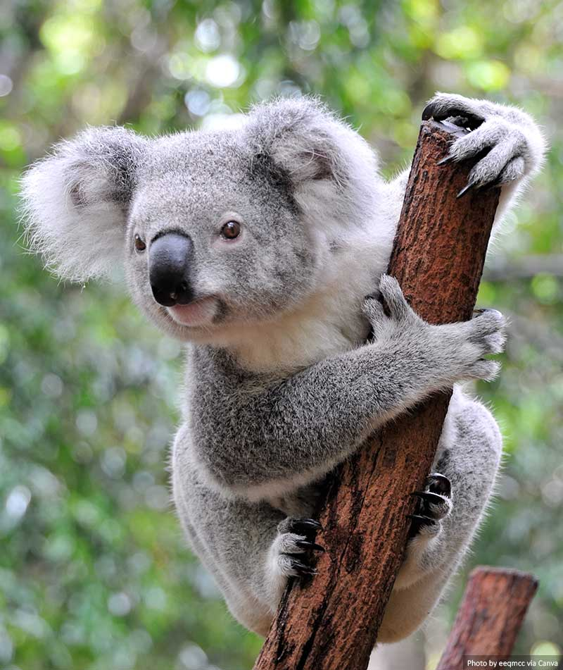 A Koala at a sanctuary in Australia