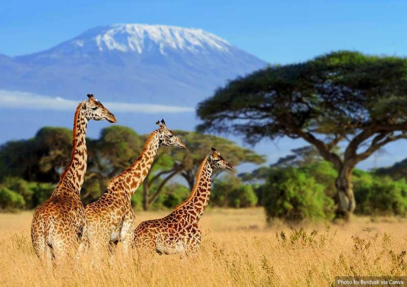 Kilimanjaro and giraffes
