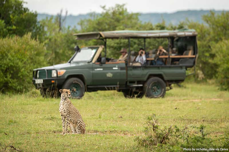 Cheetah sitting on grass with a truck behind