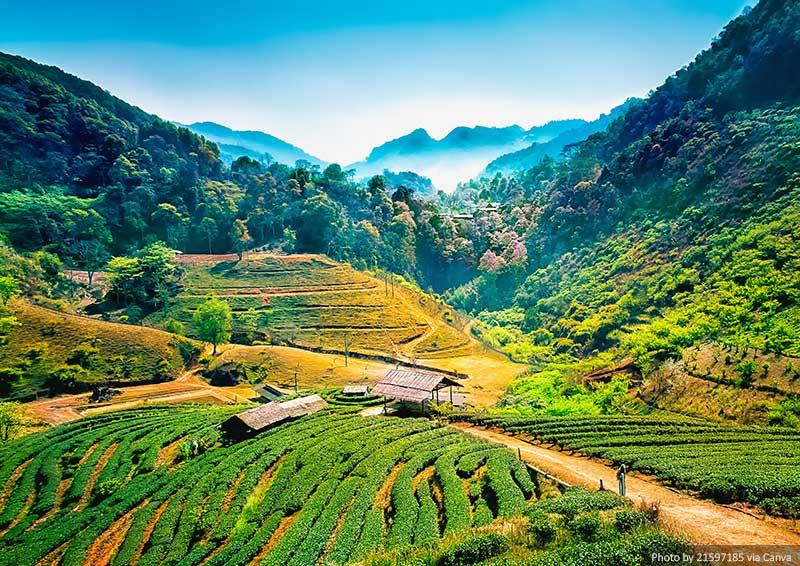Tea plantations, Chiang Mai, Thailand