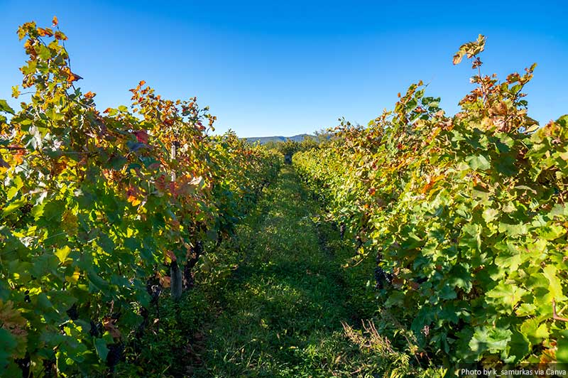 Vignobles de la région viticole de Géorgie Kakheti, Telavi Wineyards