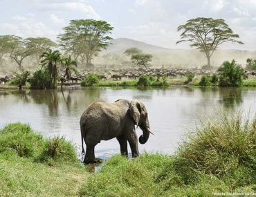 Elephant in River in Africa