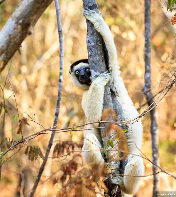 Tree Sifaka (primate)