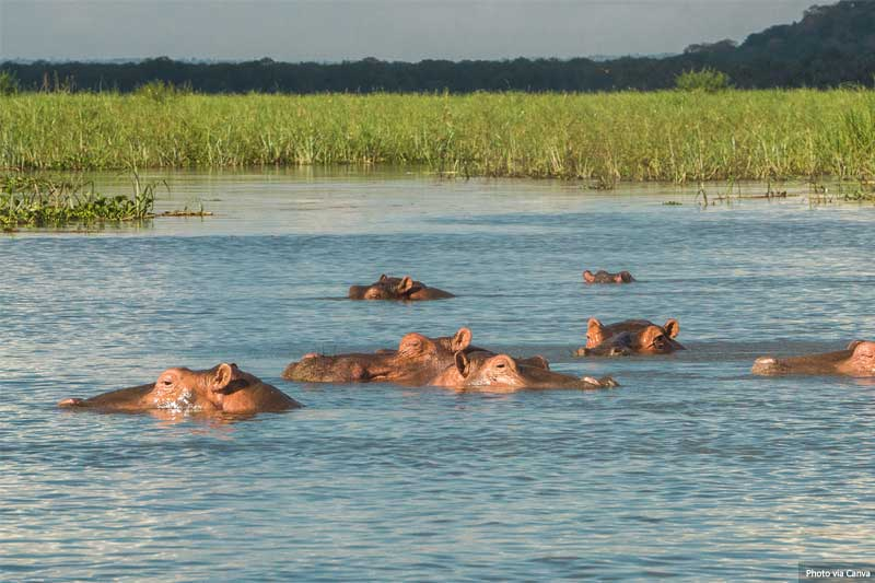 Hippos in Liwonde National Park in Malawi