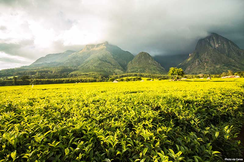 Mount Mulanje with golden green tea plantations