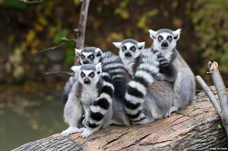 Ring-tailed lemurs (Lemur catta)