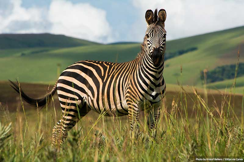 Zebra At Nyika National Park, Malawi