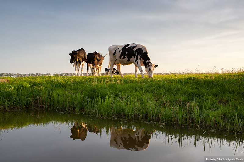 Cows graze on sunny pastures by the river