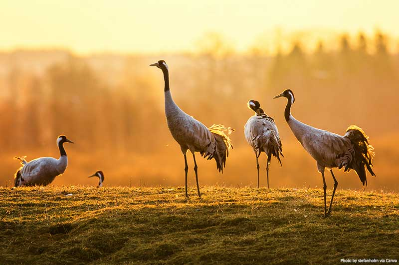 Group of cranes in the morning