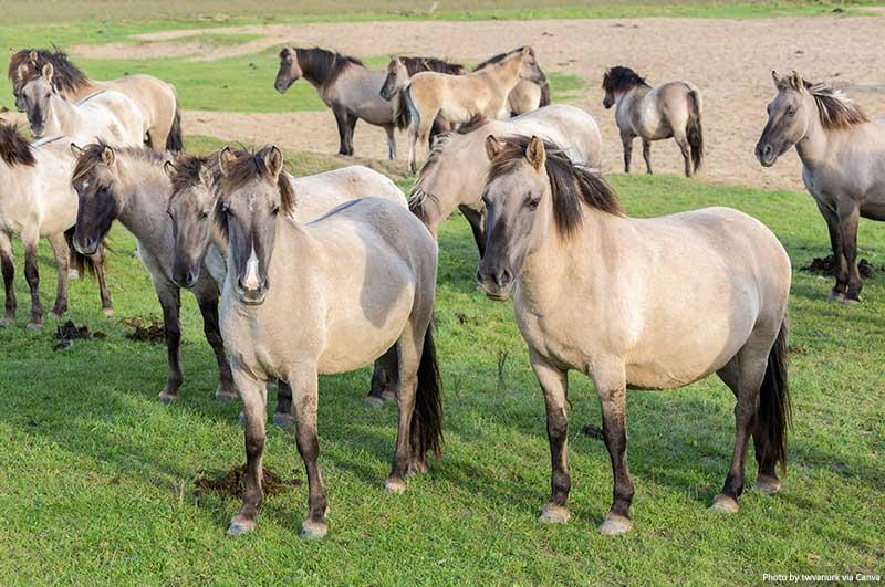 Horses in Oostvaardersplassen