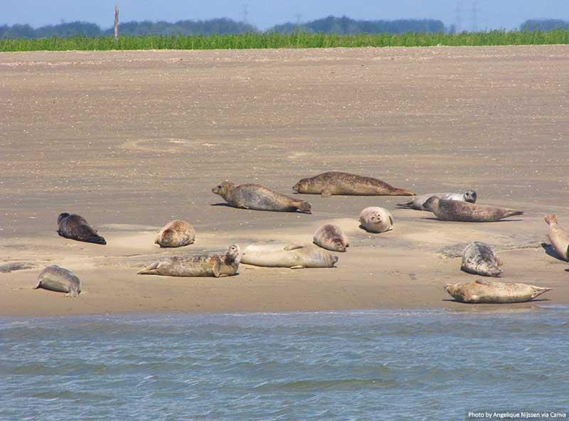 Seals in Zeeland Netherlands