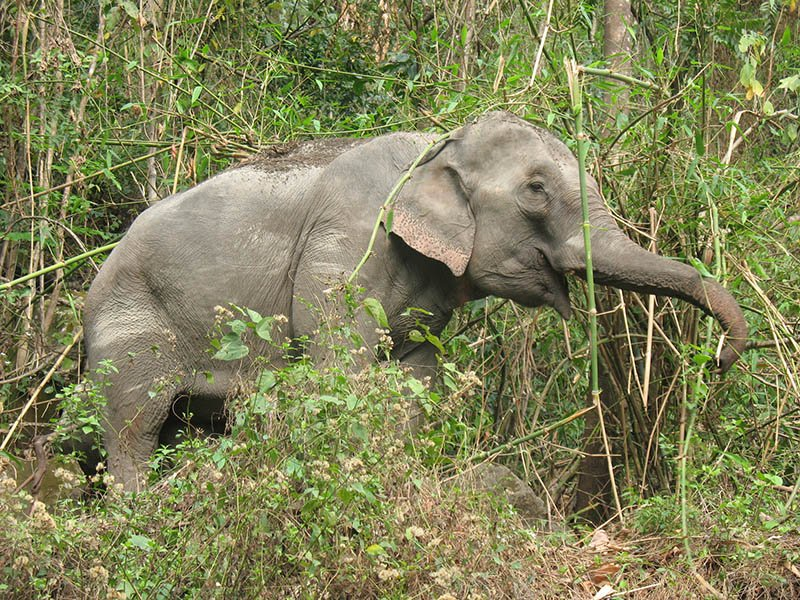 Elephant in Royal Manas National Park