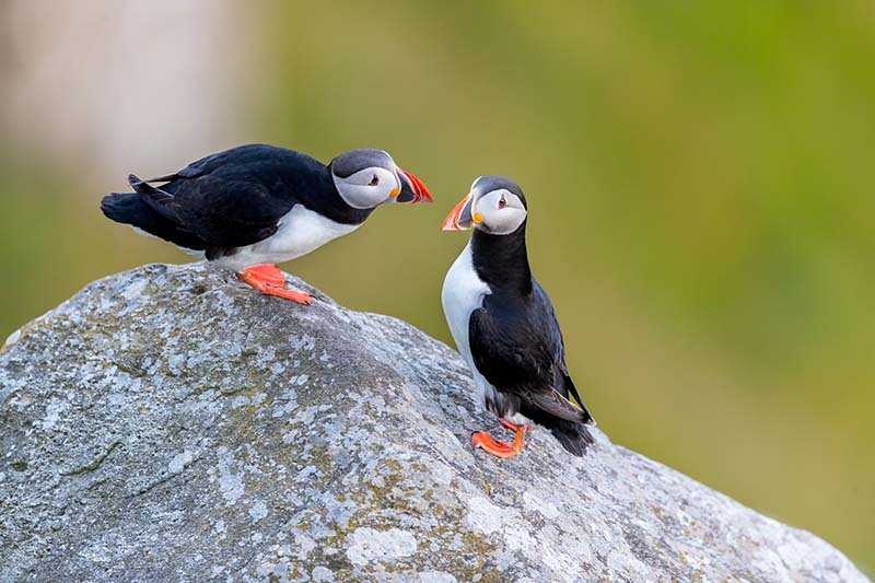 Puffins at Runde Island, Norway