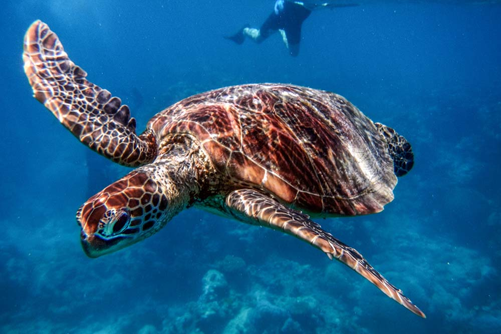 Sea turtle at the Great Barrier Reef