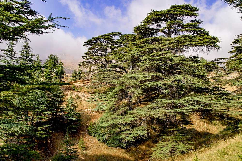 Cedars trees in Lebanon