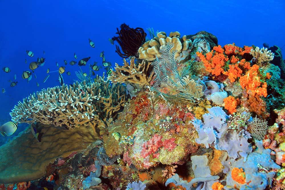 Komodo coral