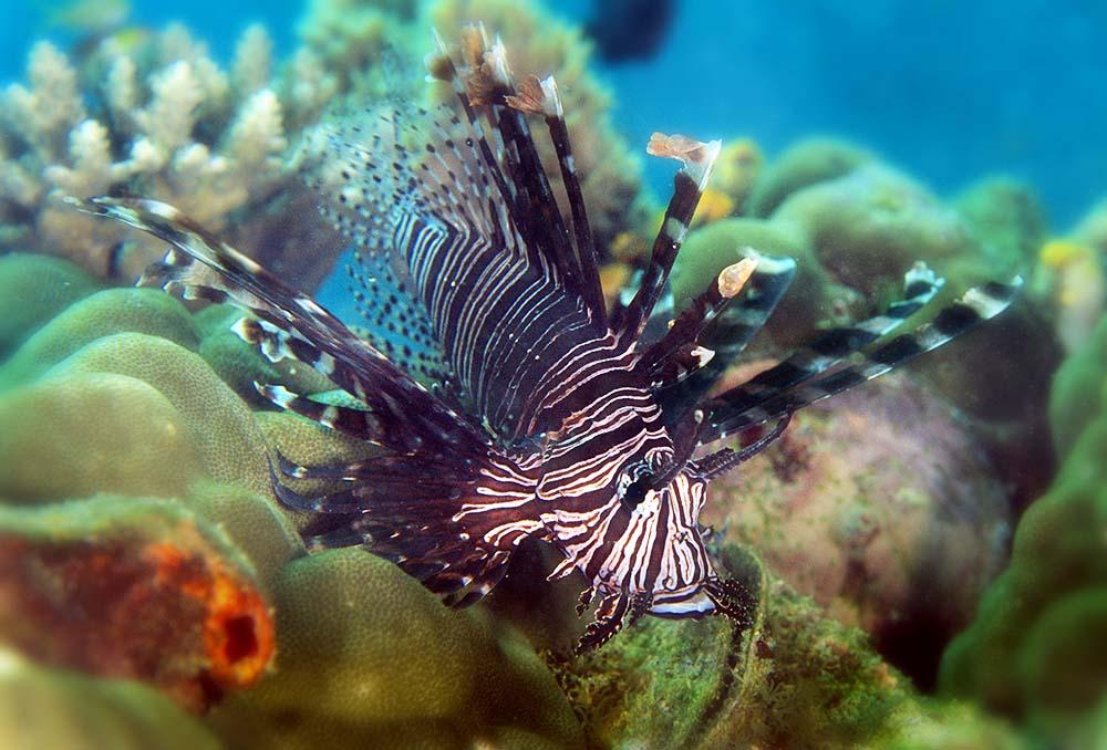 Lionfish - Sipadan