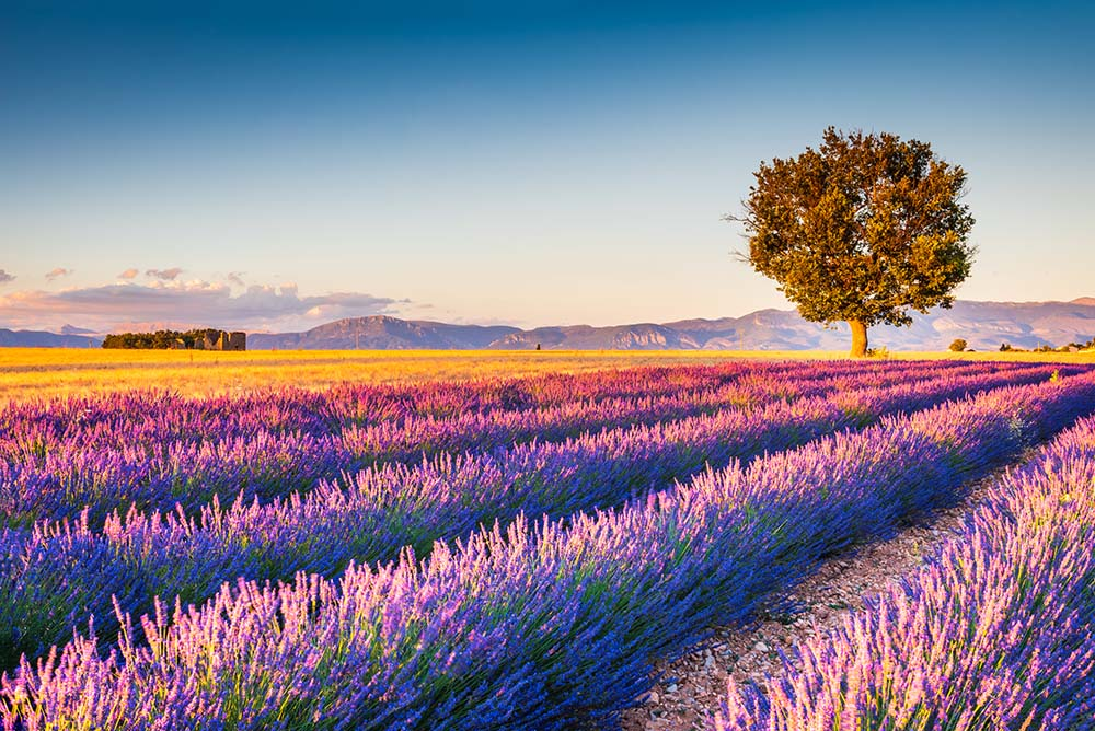 Provence in France - Lavender Fields