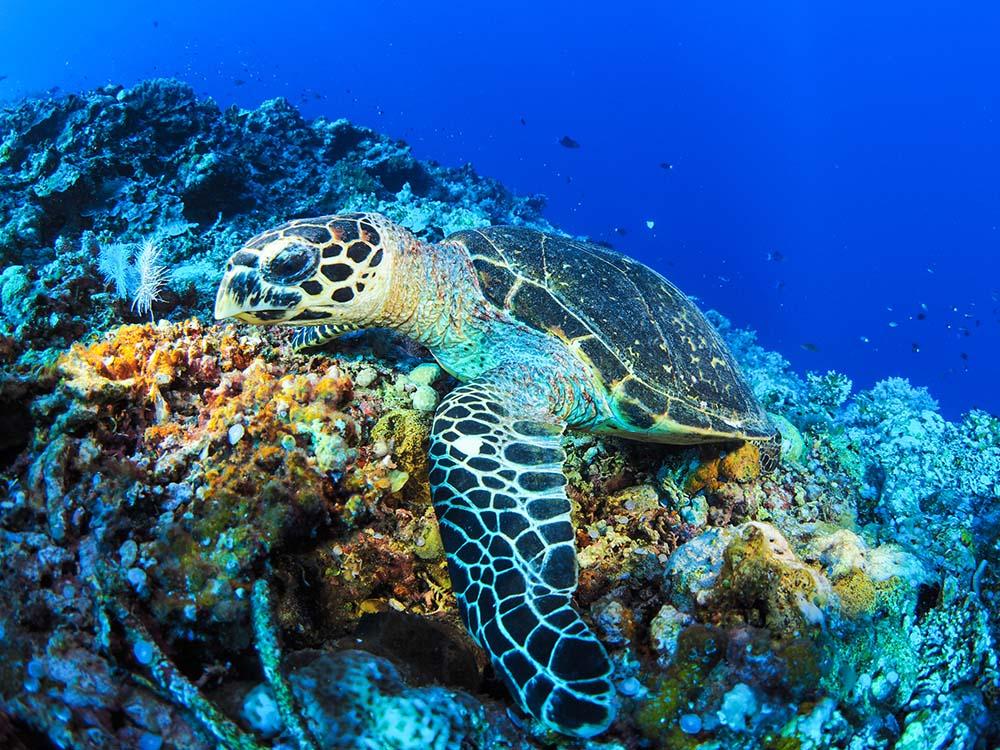 Turtle in Tubbataha Reef