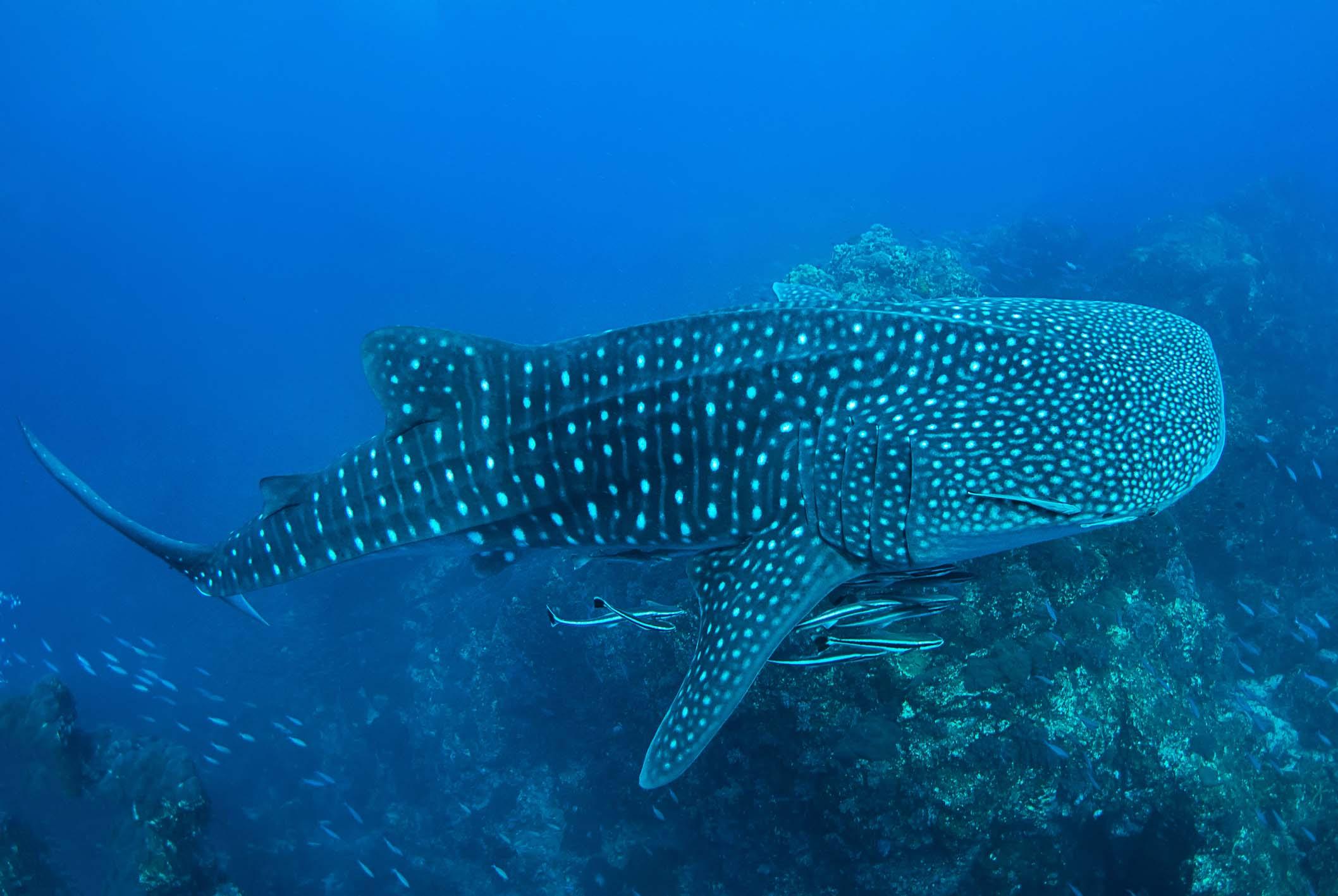 Whale sharks near Richelieu Rock