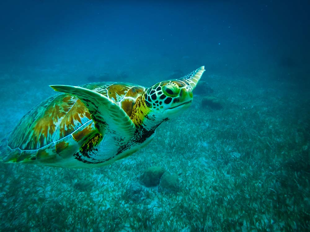 Turtle in the sea near Belize - belize